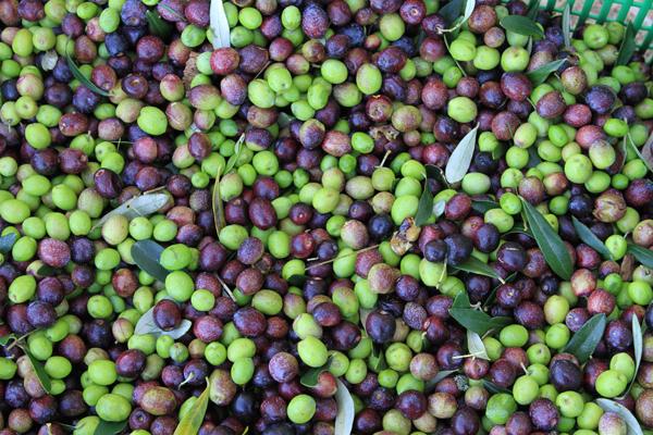 harvest1-olives