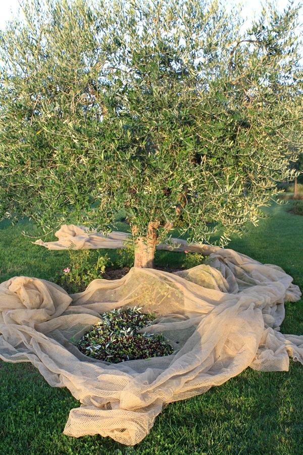 harvest1-treeone