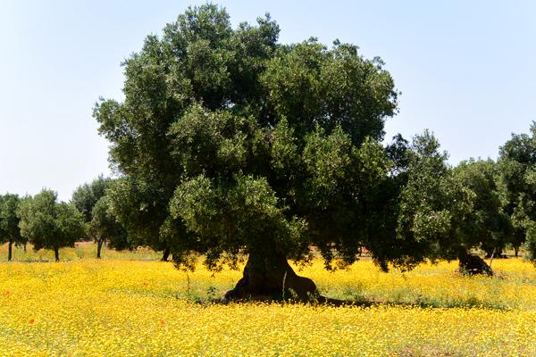 olivetreee